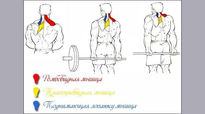 Трапециевидная мышца: лучшие упражнения для тренировки трапеций в домашних условиях и тренажерном зале