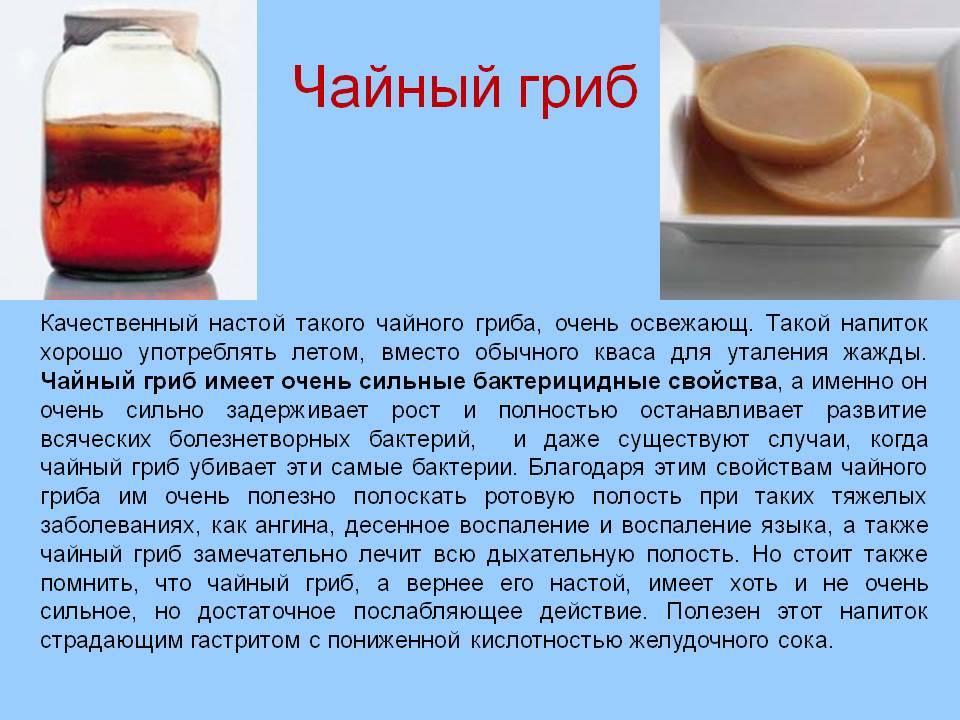 Чайный гриб, полезные свойства и противопоказания