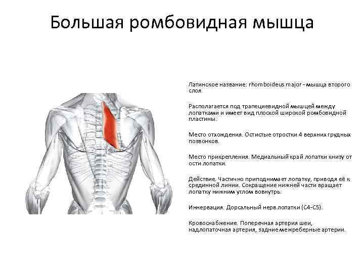 Фитнес-мифы: растяжка делает мышцы длинными и рельефными - fitlabs / ирина брехт
