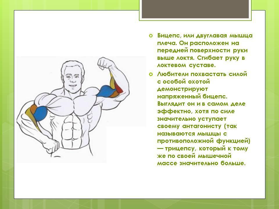 Пик бицепса. высокий пик бицепса - результат правильной стратегии тренировок.   здоровое питание
