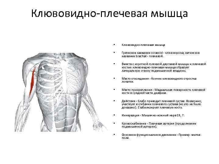 Широчайшая мышца спины  | kinesiopro