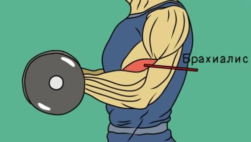 2 основных упражнения для тренировки брахиалиса. • bodybuilding & fitness