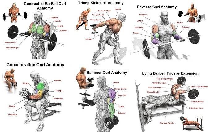 5 упражнений в тренажерном зале, которые помогут вам накачать бицепс