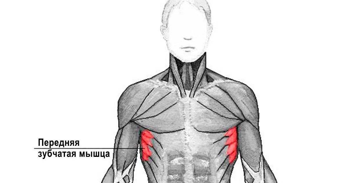 Как прокачать межреберные мышцы. зубчатые мышцы. комплекс упражнений. упражнение для зубчатых мышц – пуловер с гантелью