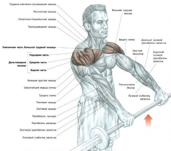 Упражнения на дельты: базовые, изолирующие и программа тренировок