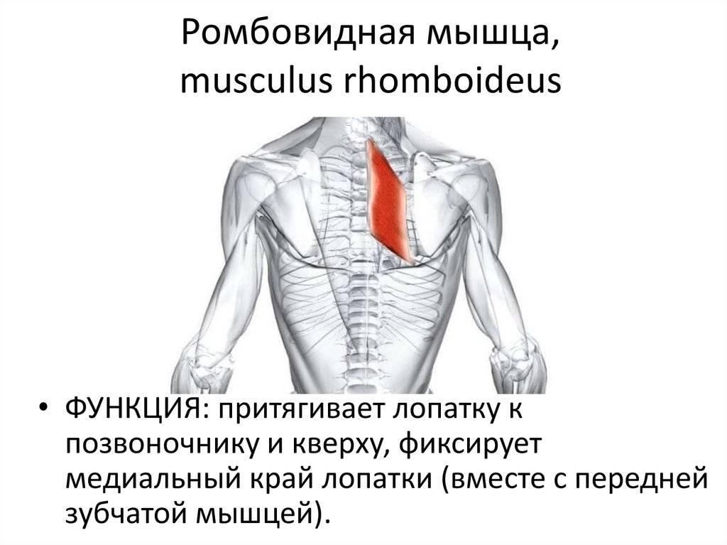 Как исправить сутулость: лучшие упражнения для ромбовидной мышцы