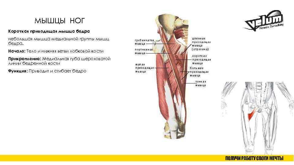 Ягодичные мышцы: анатомия и строение большой, средней и малой ягодичной