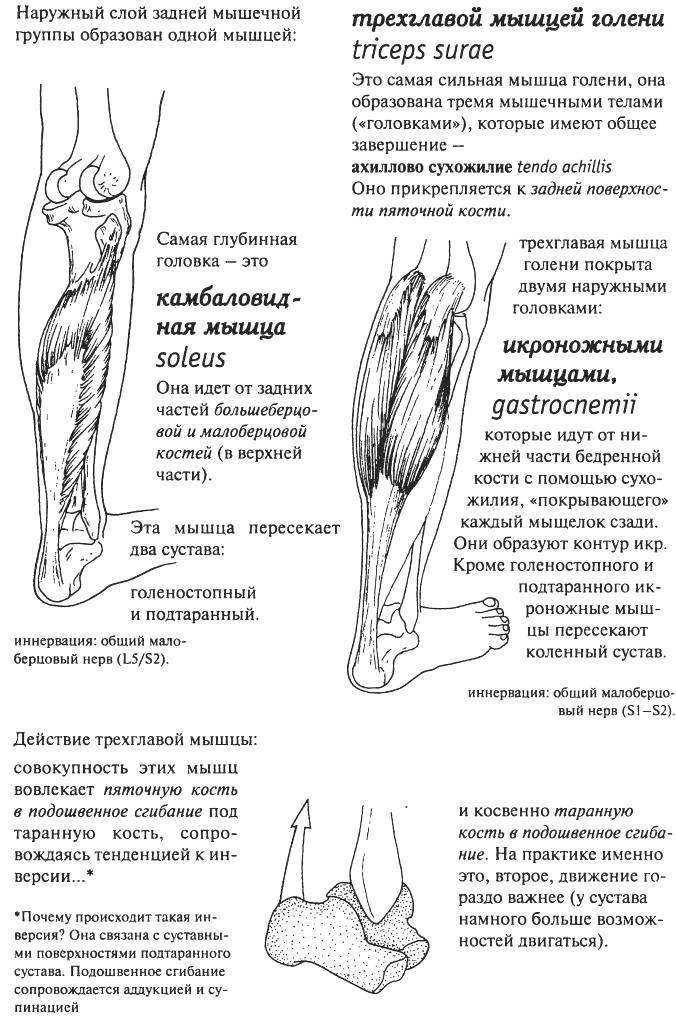 Анатомия мышц голени человека – информация: