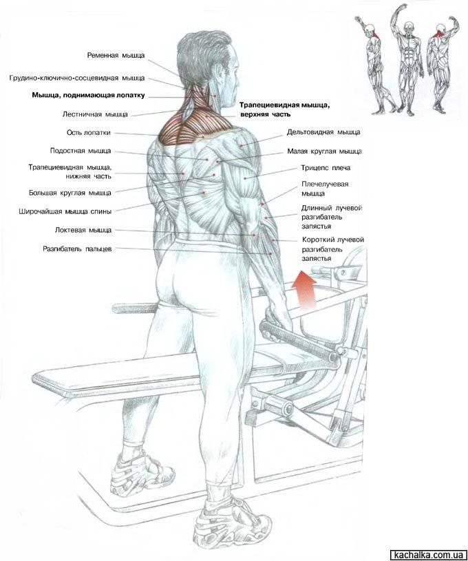 Разбор тяги ли хейни — тренируем плечи со штангой или гантелями