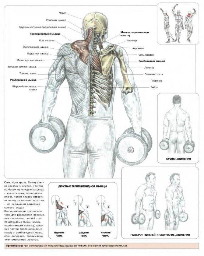 Шраги с гантелями: техника выполнения и какие мышцы работают