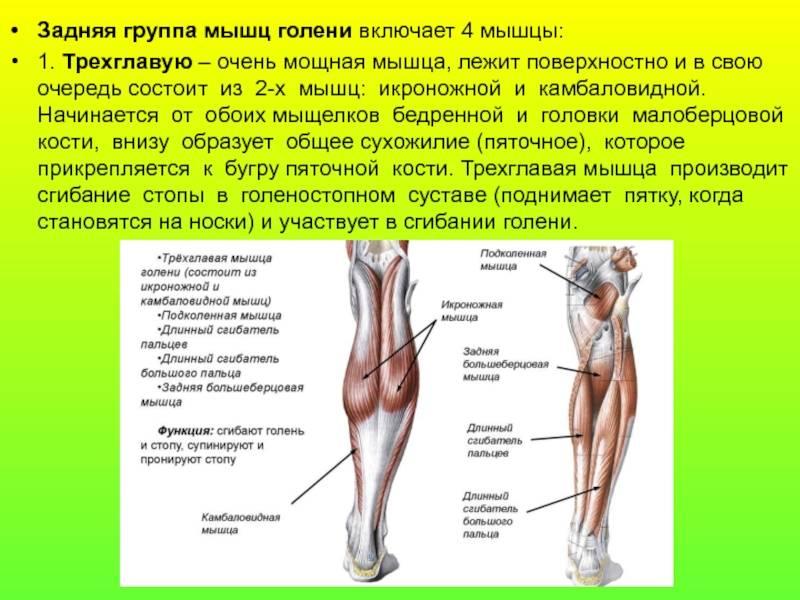 Мышцы голени: анатомия и топ 4 упражнения для передней, латеральной и задней группы