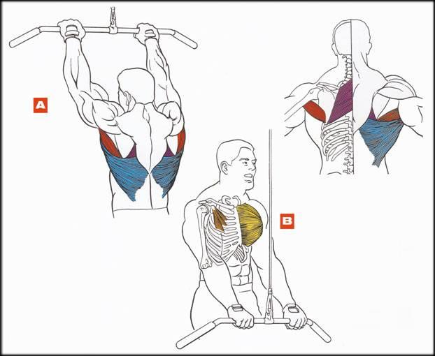 Как накачать спину   musclefit