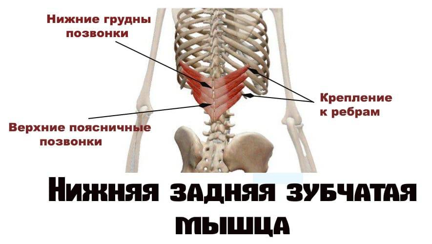 Мышцы туловища: анатомия, таблица с функциями, как накачать торс в домашних условиях и зале