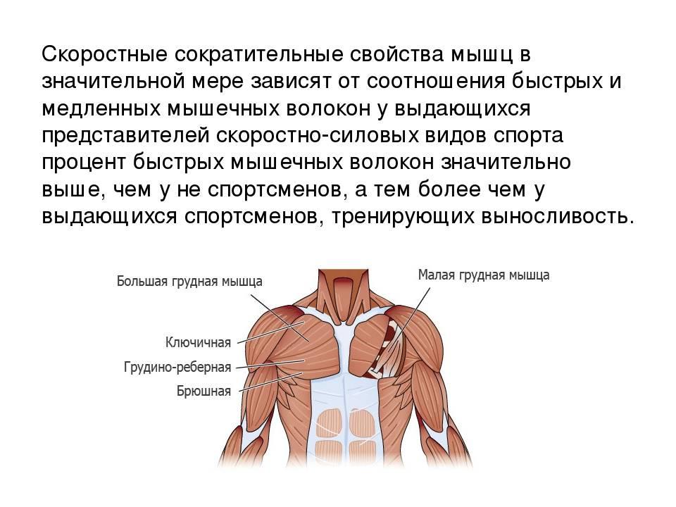 Тренировка медленных мышечных волокон (ммв) тренировка медленных мышечных волокон (ммв)