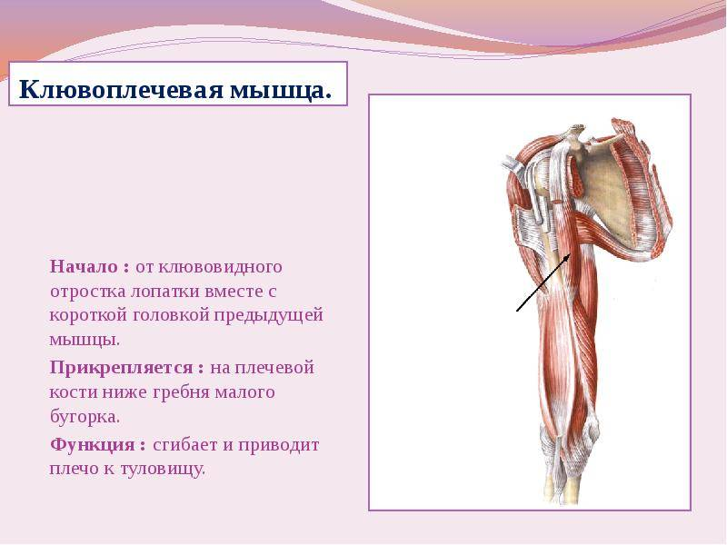 Клювовидно-плечевая мышца связка функции травмы и патологии лечение