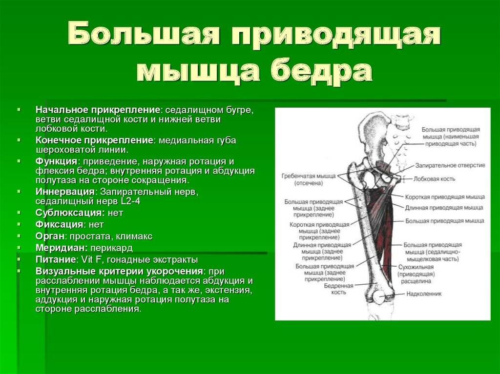 Мускулатура бедра [1958 механик н.с. - основы пластической анатомии]