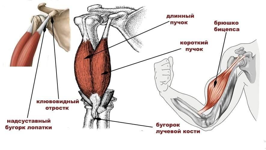 Клювовидно-плечевая мышца (связка): функции, травмы и патологии, лечение