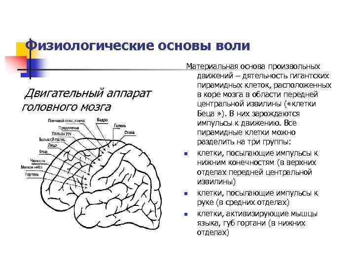 В каком отделе мозга находится воля?