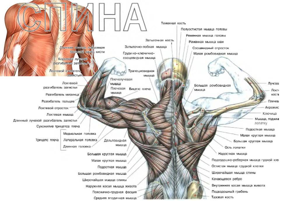 Как правильно качать мышцы: почему по разному чувствуется нейромышечная связь мозг-мышца, как тренировать и развить ее?
