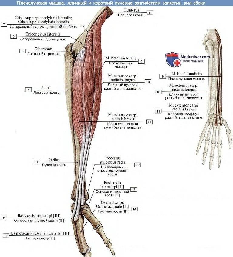 Плечелучевая мышца: тренировка. как накачать?