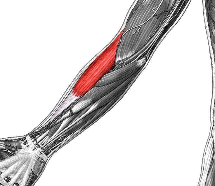 Клювовидно-плечевая мышца: расположение, функции и лучшие упражнения