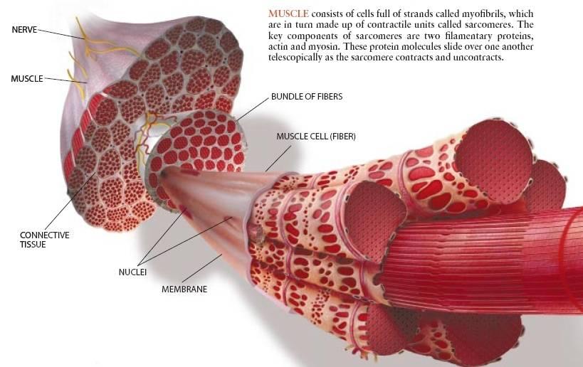 Тренировка разных мышечных волокон: методы воздействия