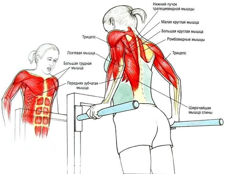 Отжимания на брусьях: какие мышцы работают? правильная техника