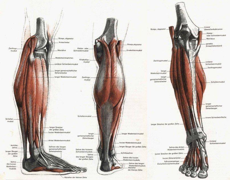 Анатомия мышц голени. задняя группа
