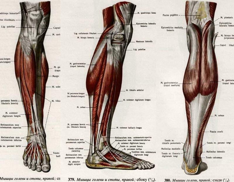 § 14. мышцы нижней конечности [1979 курепина м.м., воккен г.г. - анатомия человека: учебник для биологических факультетов педагогических институтов]