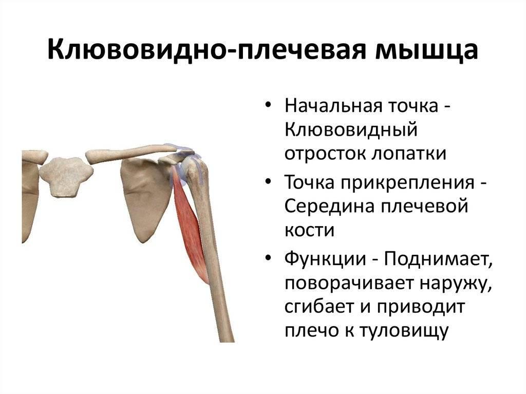 I. мышцы верхней конечности и плечевого пояса [1938 лесгафт п.ф. - анатомия мышечной системы]