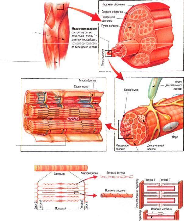 Быстрые и медленные мышцы: особенности тренировок и строения
