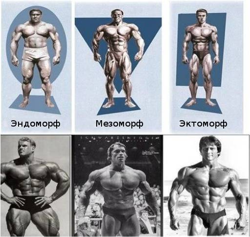Типы телосложения человека (эктоморф, мезоморф, эндоморф): как определить?