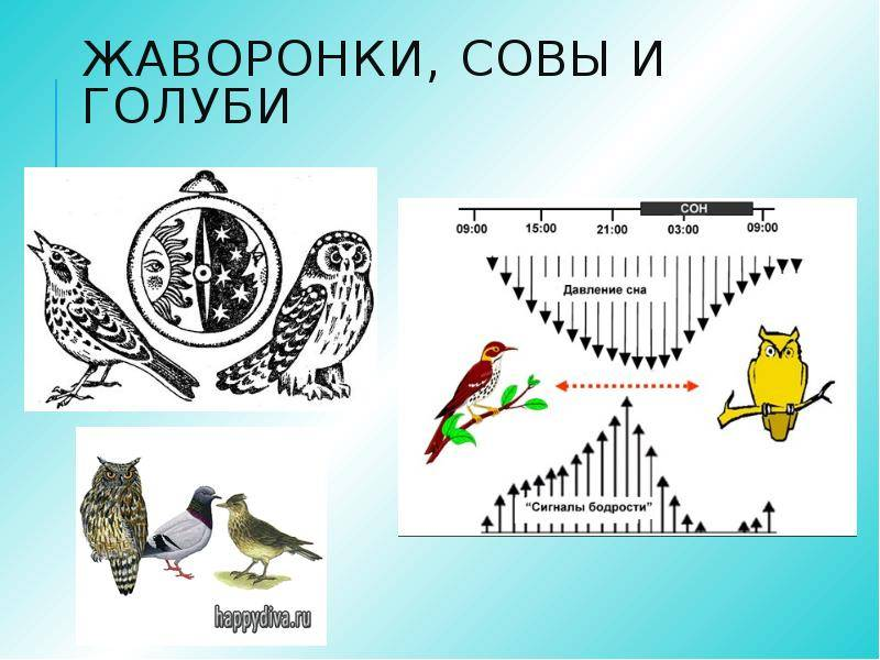 Совы и жаворонки, голуби и дельфины — а не выдумано ли деление и как стать из совы жаворонком?