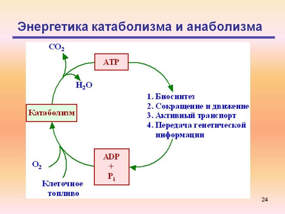 Катаболизм и анаболизм как процессы метаболизма