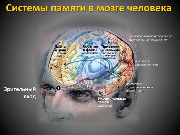 Нейронам нужна глюкоза, и еще несколько фактов о нервных клетках