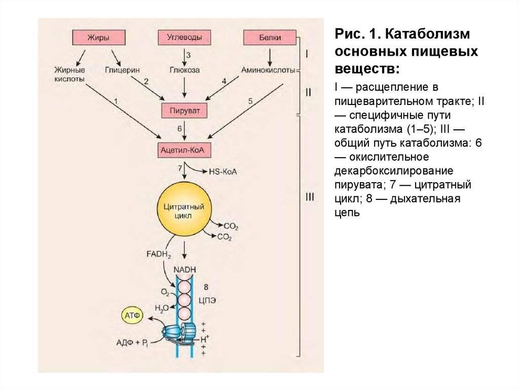 Катаболизм и анаболизм это что такое, катаболические процессы мышц