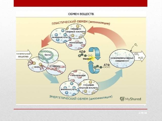 Главное о метаболизме и обмене веществ. что такое обмен веществ и как его ускорить?