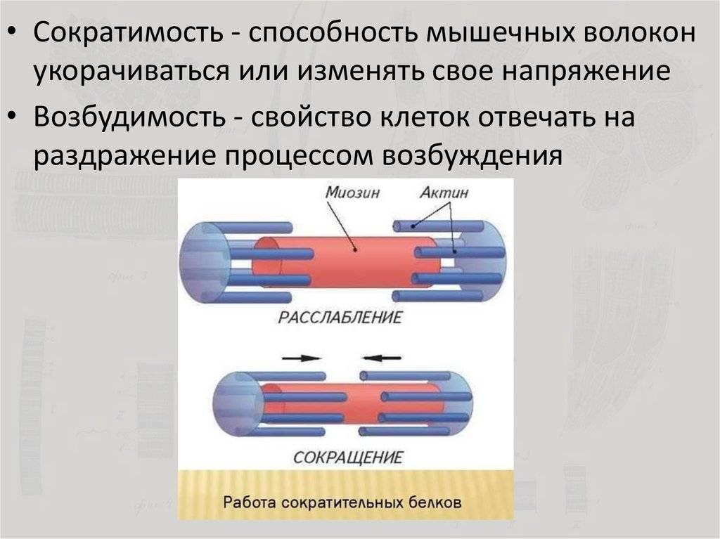 7.3.5 увеличение количества миофибрилл в медленных мышечных волокнах. теория и методика подтягиваний (части 1-3)