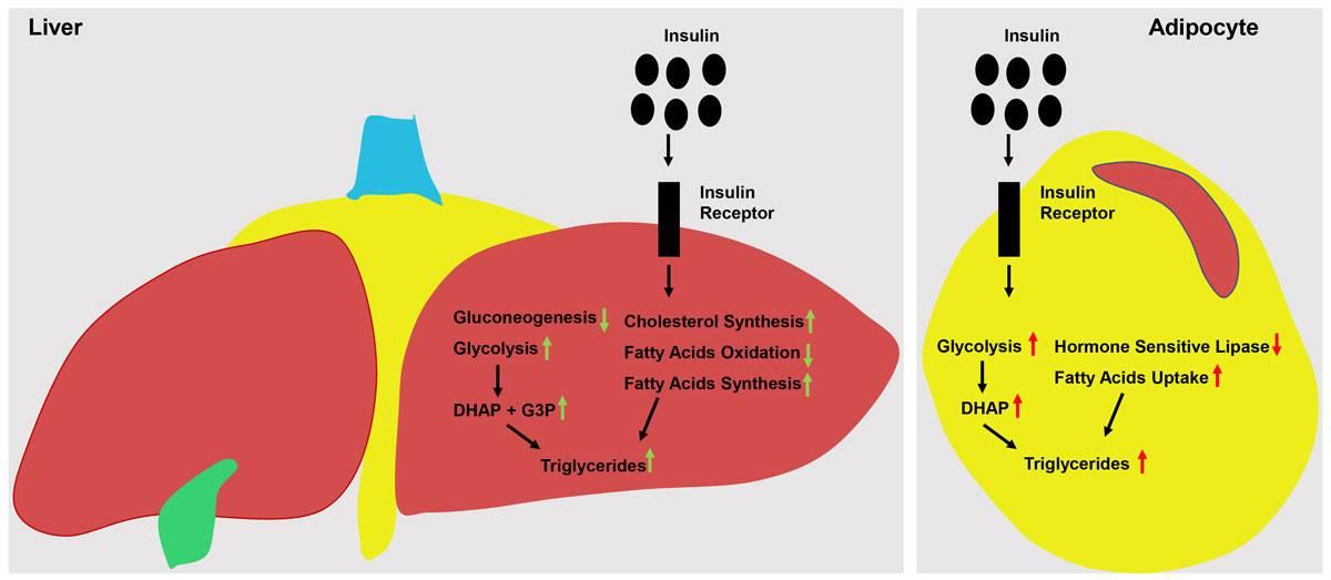 Фитнес-мифы: хочешь похудеть - не ешь углеводы - fitlabs / ирина брехт