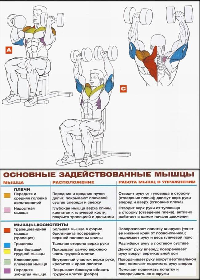 Жим гантелей сидя - пошаговая техника выполнения