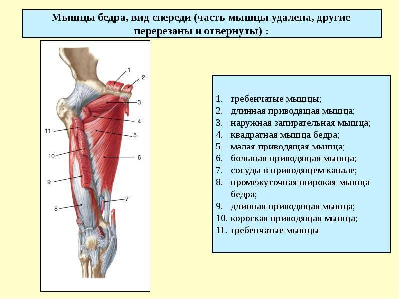 Тендинопатия приводящих мышц бедра