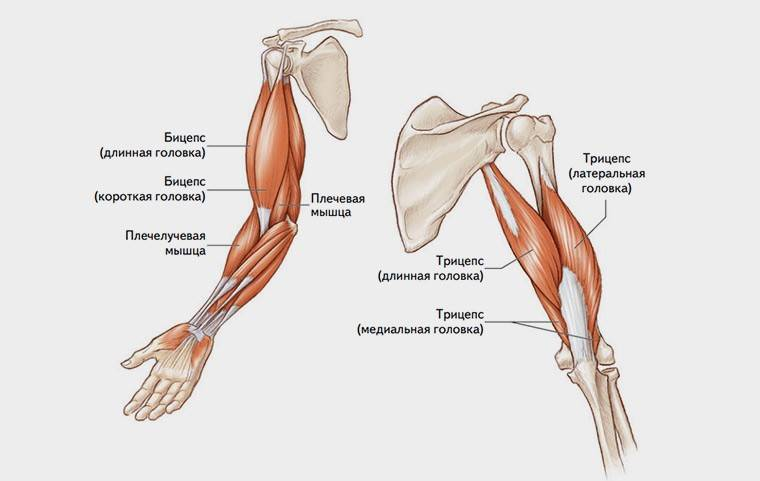 Тендинит бицепса - лечение, симптомы, причины, диагностика   центр дикуля
