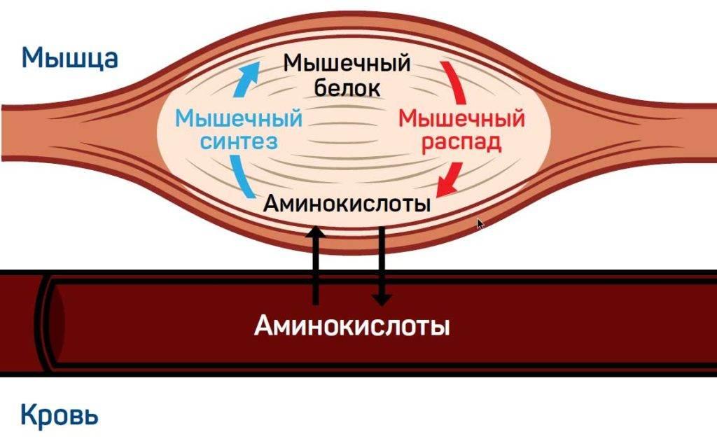 Как набрать мышечную массу: синтез протеина [часть 1: питание]