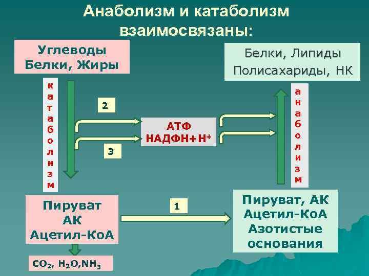 Анаболизм и катаболизм – метаболические процессы и их значение | athletic-store.ru