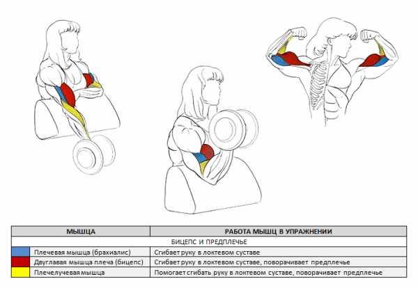 Пик бицепса: упражнения и программа тренировок для отстающего пика двуглавой мышцы плеча