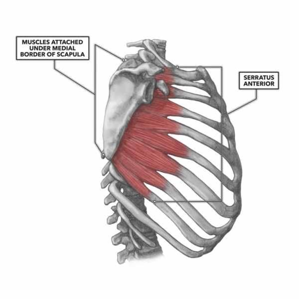 Передняя зубчатая мышца | kinesiopro