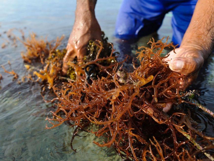 Водоросли россии. водоросли: исцели свою болезнь! природная кладовая витаминов и биологически активных веществ
