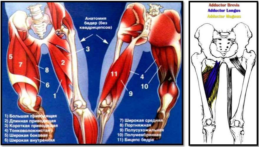 Четырехглавая мышца бедра человека | анатомия четырехглавой мышцы бедра, строение, функции, картинки на eurolab