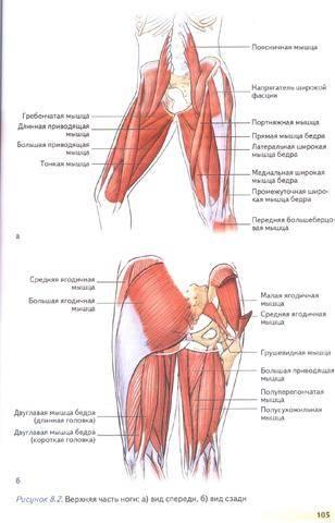 Анатомия и кинезиология мышц пояса нижних конечностей. мышцы таза. сгибатели тазобедренного сустава.(лекция 1)