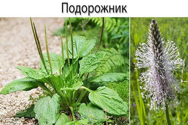 Подорожник: сорняк или полезная еда — лечебные свойства и применение